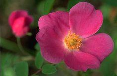 Alaska Wild Roses