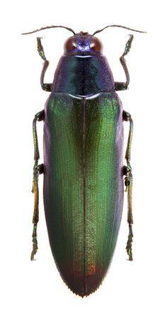 Chrysochroa variabilis funebris
