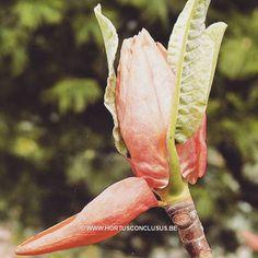 Magnolia hypoleuca #gardening #tuinieren #jardinage #gartenarbeit #magnolia #flowers #bloemen #fleurs #blumen #tree #boom #arbre #baum #hortusconclusus #treenursery #boomkwekerij #pépinière #baumschule #uitbergen #berlare #zele #wichelen #schellebelle #lokeren #schoonaarde #dendermonde #laarne #beervelde #kalken #wetteren