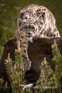 Snow Leopard Mais