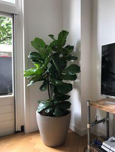 Grote Groene Plant.37 Beste Afbeeldingen Van Grote Groene Planten Groene
