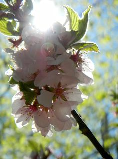 Spring Is Here Soon We Ll Have Cherry Blossoms Door County Wi Door County Wisconsin Door County Door County Lighthouses
