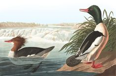 Global Gallery 'Goosander' by John James Audubon Painting Print on Wrapped Canvas Size: Painting Edges, Painting Frames, Painting Prints, Art Prints, Nature Prints, Audubon Birds, Audubon Prints, Bird Artists, Birds Of America