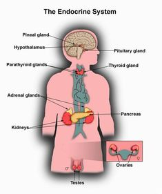 Some endocrine hormones like thyroxin to the thyroid gland affect nearly all body cells.