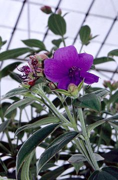 Glory bush Tibouchina Urvilleana Amazing autumn colour