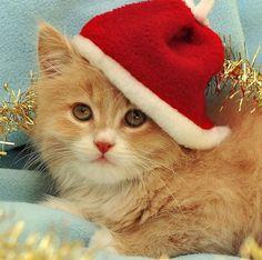Christmas-Cat-26