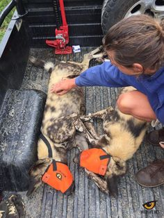 8 African Wild Dogs safely relocated from South Africa to Botswana! The first 3 Wild Dogs (males) are originally from Hluhluwe–Imfolozi Park and were darted and transported by Wildlife ACT co-founder, Chris Kelly, to meet the other 5 (female) Wild Dogs from Tembe Elephant Park, before being transported by the Bateluers plane to Botswana. All 8 Wild dogs are now in Northern Thuli Game Reserve where they are being held in a boma to bond. They will be closely monitored until their release.