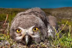 Snowy Owl Chick, Wrangel Island, Russia, Photography by Gunther Riehle, Kirchheim unter Teck, Germany