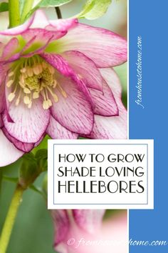 These gardening tips for growing Lenten Rose are the BEST! I need some ground cover plants for the shade and these low maintenance perennials will be perfect. #lentenrose #shadeperennials #gardenideas #hellebore