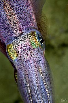 This photo of a squid, taken in Indonesia, appears to show the large pigment cells (chromatofores) used by squid to flash and change colour—fantastic! ~Colors by Lea's UW Photography Underwater Creatures, Underwater Life, Ocean Creatures, Under The Ocean, Sea And Ocean, Poisson Mandarin, Beautiful Creatures, Animals Beautiful, Tier Fotos