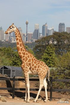 A visit to Taronga Zoo - Sydney, Australia. Make our zoo feel like a hidden pocket of wilderness; if there are buildings or whatever, and even the parking lot nearby, make them hidden to those in the zoo. Australia Map, Melbourne Australia, Brisbane, The Places Youll Go, Places To Visit, Visit Sydney, Sydney Trip, Logo Inspiration, Great Barrier Reef