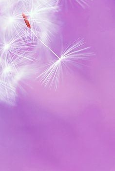 Purrrrrrple Dandelion- you make my insides feel funny ;-)     Allow your heart to float light as a dandelion seed and spread love, healing and joy !!!