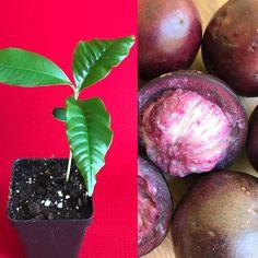 Caimito Purple Star Apple Chrysophyllum cainito Seedling Plant Purple Fruit, Green Fruit, Potted Fruit Trees, Star Apple, Replant, Plant Pictures, Growing Tree, Plant Needs, Small Plants