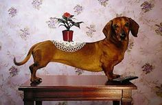 that's what we can do with our weenie dog!