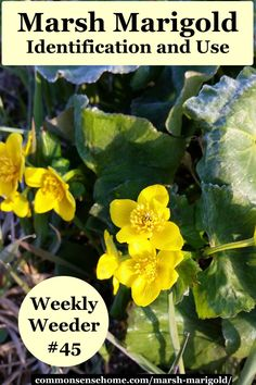 Marsh Marigold, Caltha palustris - Weekly Weeder - range and identification, role as a wildlife habitat, uses for food and medicine. Marsh Marigold, Edible Wild Plants, Organic Gardening Tips, Companion Planting, Edible Flowers, Growing Vegetables, Native Plants, Shade Garden, Permaculture
