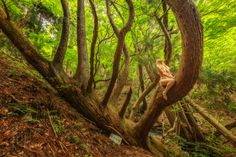 Never Give Up Look Up Sugi-Japanese Red Cedar/Sugi (Cryptomeria japonica), Shiso Haga, Hyogo, Japan TreeGirl Studios LLC Intimate Photography, Nude Photography, Hyogo, Red Cedar, Buy Prints, Natural History, Looking Up, Never Give Up, Studios