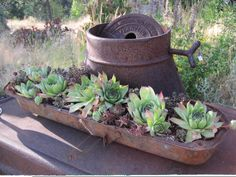 Rusty relics planted with Hen's & Chicks and sedum.