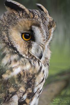rainylak-e:  Long Eared Owl   by l-e-photography