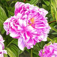 Paeony 'Sir Alexander Fleming'