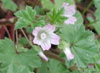 (Common Mallow (Malva neglecta) - 01a)  The common mallow blooms from April to October.  The flowers of the common mallow measure about 1/2 inch across, and have five pink petals with dark pink veining (the color of the petals can vary from white to lavender).