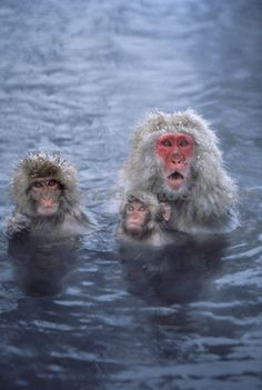 Japanese Snow Monkeys In Steamy Thermal Pool Primates, Snow Monkeys, Thermal Pool, Natural Pools, Orangutans, Oceans Of The World, Photography Website, Travel List, Ocean Life
