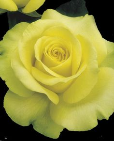 JP: St. Patrick™ (Gold Medal) - Yellow-gold Shaded Green Hybrid Tea Roses