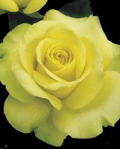 JP: St. Patrick™ (Gold Medal) - Yellow-gold Shaded Green Hybrid Tea Roses