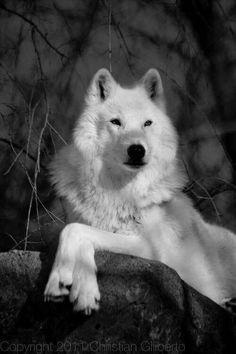 Magnifique Loup Blanc aww <3 <3 *