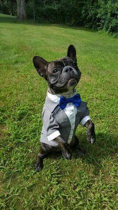 Grey dog tuxedo with bright blue bow tie Dog wedding attire Formal dog suit Swallow-tailed dog coat Birthday dog costume Custom & Dog wedding attire in grey Formal suit for dog with bow tie Evening ...