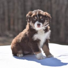 😍👋Meet the #PerfectSnuggleBuddy! Cinnamon is a super adorable #AustralianShepherd puppy from her beautiful coat to her #SparklingBlueEyes👀, she will be sure to warm your heart! #Charming #PinterestPuppies #PuppiesOfPinterest #Puppy #Puppies #Pups #Pup #Funloving #Sweet #PuppyLove #Cute #Cuddly #Adorable #ForTheLoveOfADog #MansBestFriend #Animals #Dog #Pet #Pets #ChildrenFriendly #PuppyandChildren #ChildandPuppy #LancasterPuppies www.LancasterPuppies.com Australian Shepherd Puppies, Lancaster Puppies, Follow The Leader, Puppy Names, Animals Dog, Funny Relatable Memes, Puppies For Sale, Mans Best Friend, Snuggles