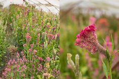 Succession Planting: How To Keep The Harvest Going All Season Long - Floret Flowers Growing Flowers, Cut Flowers, Planting Flowers, Cut Flower Garden, Flower Farm, Flower Gardening, Garden Plants, House Plants, Succession Planting