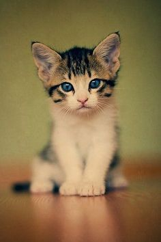 A kitten with bright blue eyes sitting and staring toward the camera.