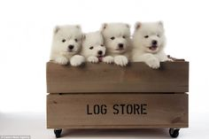 Four fluffy dogs line up in a log crate as they pose for a picture