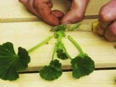 """Cum se fac butaşii de muşcate """"ca la carte"""" Beautiful Flowers, Plants, Flora, Home And Garden, Herbs, Flower Garden, Planting Herbs, Gardening Tips"""