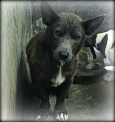 AVAILABLE 6-25-14. Sweet, little mama Corgi. She's in Kennel A33 and could really use a new home! If you can foster you can save her life from this kill shelter. Adoption fee is only $51. PLEASE SAVE A SHELTER PET. Odessa TX Animal control. https://www.facebook.com/speakingupforthosewhocant/photos/a.573572332667009.1073741829.248355401855372/797025170321723/?type=1&theater