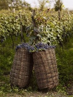 Baskets of picked grapes in the vineyard