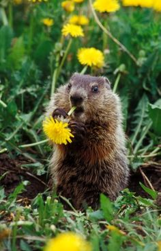 Groundhog/woodchuck, same thing, best thing! The greatest animal in the world... after cats, pigs, and dogs.