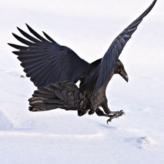 Raven landing Our family of Ravens are back again I love how they land then call the rest of the Gang to come and eat