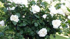 Rose bianche foto di giuseppina ceraso    crocettando http://crocettando.wordpress.com