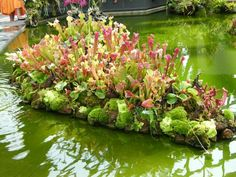 pitcher plant island for arowana pond Carnivorous plants 食蟲瓶子 Weird Plants, Unusual Plants, Rare Plants, Exotic Plants, Bog Garden, Water Garden, Bog Plants, Indoor Plants, Savage Garden