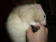 Jouer avec son rat Les Rats, Dumbo Rat