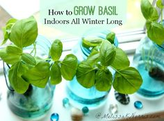 One of the EASIEST herbs to grow! How to grow basil indoors all winter long without soil: Harvest fresh herbs year round and never plunk down money at the store for herbs again.