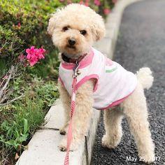 #お散歩 #福 #愛犬 #犬 #プードル #トイプードル #タイニープードル #dog #poodle #toypoodle #大切な家族 #最愛の息子 #愛おしい #大好き #幸せ #目に入れても痛くない #ワンコなしでは生きていけません会 #ふわもこ部 #ママミング #適当