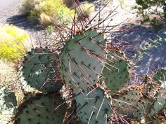 PlantFiles Pictures: Opuntia Species, Black-Spine Prickly Pear, Purple Prickly Pear, Red-joint Prickly Pear, Texas Santa (Opuntia macrocentra) by Xenomorf Types Of Succulents, Cacti And Succulents, Planting Succulents, Cactus Plants, Cactus Pictures, Prickly Pear Cactus, Desert Cactus, Famous Daves, Trees To Plant