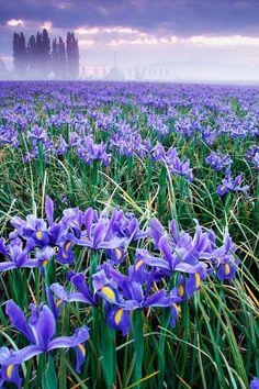 Beautiful Field of Blue Iris on foggy morning  - Mount Vernon, Skagit Valley, Washington, US