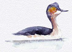 declarado extinto en 1977 Zampullín colombiano, Podiceps andinus