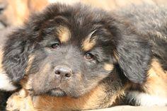 Merlot Most Expensive Dog, Tibetan Mastiff, Dogs, Animals, Animales, Animaux, Pet Dogs, Doggies, Animal