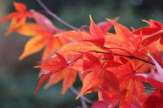 Acer palmatum (Amoenum Group) 'Osakazuki' - This Japanese maple is grown mainly for its spectacular autumn colour, perhaps the best of all the maples. It has an open habit, and its large, seven-lobed, bright green leaves turn brilliant scarlet in autumn and last for several weeks. It prefers a sheltered, shady spot, and looks dramatic silhouetted against a tall hedge or modern building.