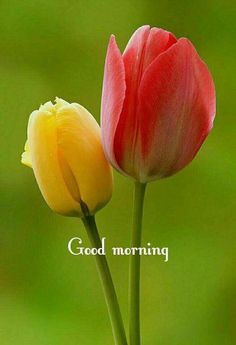 Always something to like about flowers . particularly tulips. Good Morning Flowers, Good Morning Picture, Good Morning Messages, Good Morning Good Night, Good Morning Wishes, Good Morning Quotes, Night Wishes, Good Morning Beautiful Pictures, Morning Pictures
