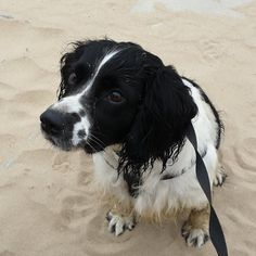 Springer Spaniel Puppies, English Springer Spaniel, Spaniel Dog, Spaniels, Beautiful Dogs, Mans Best Friend, Puppy Love, Passion For Fashion, Dogs And Puppies